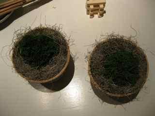 Elixir' 15th Feng Shui Window- Dwarf Cypress