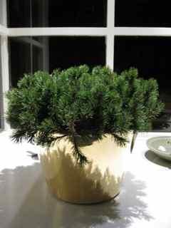Elixir Feng Shui Window 15- mugo pine