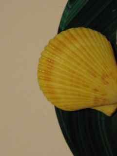 Feng Shui Scallop Shell