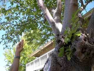 Tiburon Art Festival- Adorning Trees